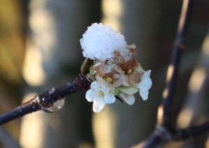 blossom with snow