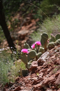 prickly pear flower zion national park