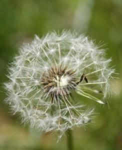 white expanded dandelion